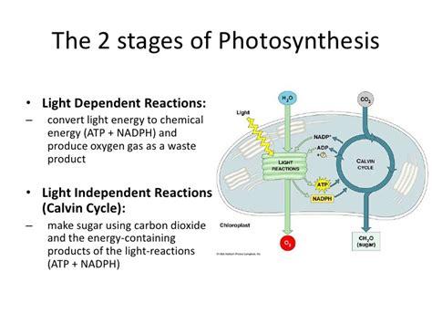 dependent definition yung light dependent vs light independent reactions Light