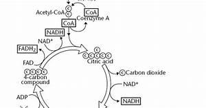 Glycolysis And Krebs Cycle Diagram