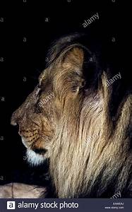 A dominant male African Lion stares into the darkness on ...