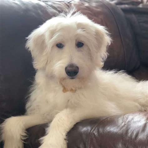 german shepherd poodle mix vet reviews  reasons