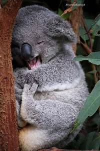 Sleepy koala | Bear Hugs | Pinterest