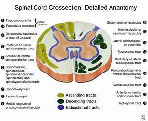 Neuroanatomyblog   U201c Spinal Cord Cross