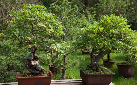 bonsai äste schneiden bonsai schneiden grundlegende regeln und tipps
