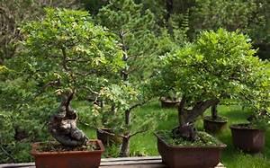 Bonsai Baum Schneiden : bonsai schneiden grundlegende regeln und tipps ~ Frokenaadalensverden.com Haus und Dekorationen