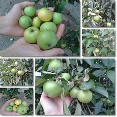 Properties And Benefits Of Apples Natureword
