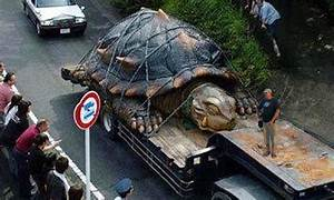 Image Gallery largest turtle ever