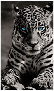White Tiger With Blue Eyes Wallpaper 3D | Wallpapers Gallery