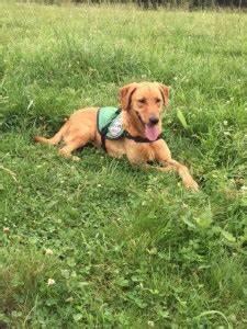 service dogs warren retrievers delivers diabetic alert service dog child rockwell nc