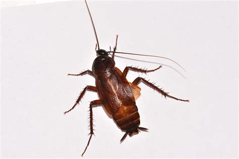 cockroach pictures nyc bronx brooklyn queens  long