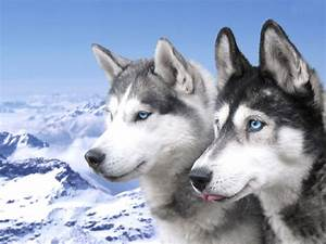 Siberian Husky Puppies Wallpaper-Free HD Downloads