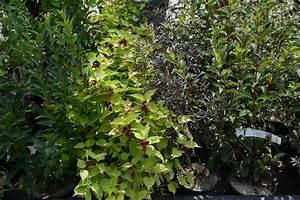 Arbuste Persistant Haie : haie de 15 arbustes fleuris vari s caducs et persistants ~ Premium-room.com Idées de Décoration