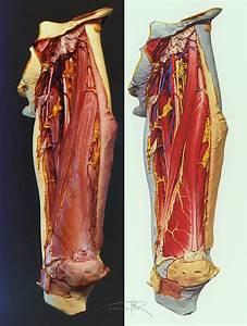 Human Cadaver Leg  Thigh  3d Model On Behance