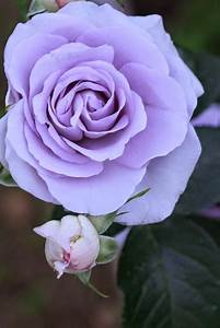 1296 best images about Single rose on Pinterest | White ...