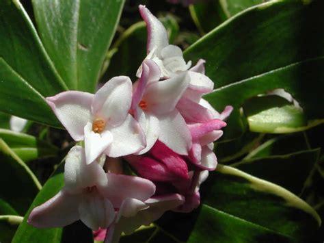 arbusti dai fiori rosei piccoli arbusti dai fiori profumati e facili da