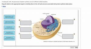 Solved  In Eukaryotic Cells  The Processes Of Protein Synt