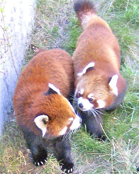 zoo calgary alberta canada animals zoos pandas