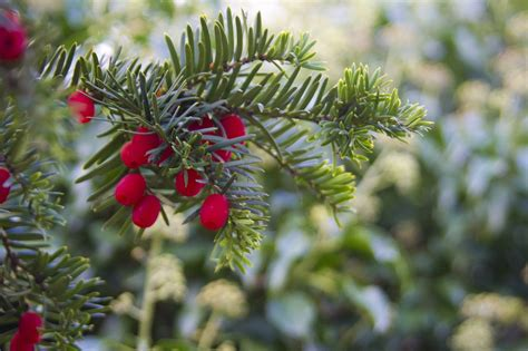 christmas tree with snow and berries free stock photo winter berries berry free image on pixabay 22183