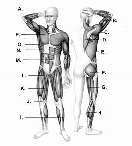 Muscles Unlabeled Diagram