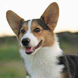 best dogs for cats pembroke corgi best breeds for active