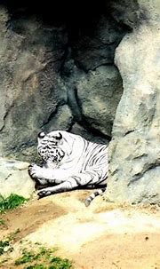 White tiger at the Cincinnati Zoo (OH) | Cincinnati zoo ...
