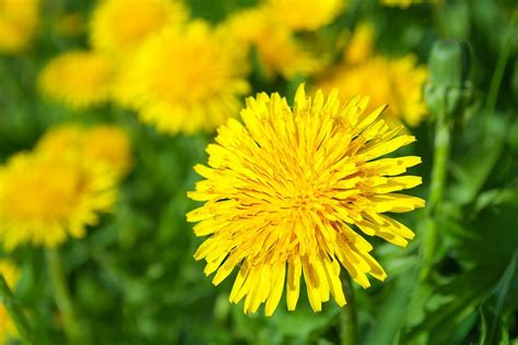 how to kill dandelions dandelions www pixshark com images galleries with a bite