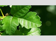 Poison ivy, oak, and sumac in children BabyCenter