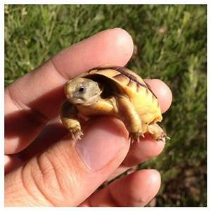 Baby Jordanian Greek Tortoises For Sale | Things I want ...