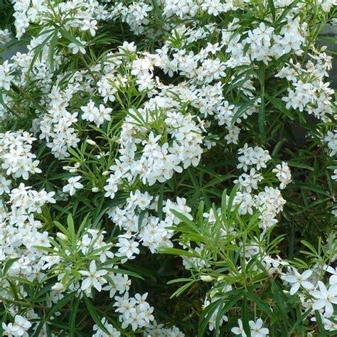 9 Best White Border Plants Images On Pinterest Border