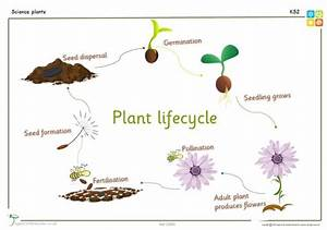 Lifecycle Of A Plant Ks2