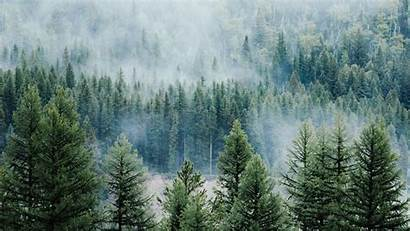 Forest Trees Fog Pine Laptop Spruce 1080p