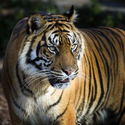 wallpaper bengal tiger big tiger   animals