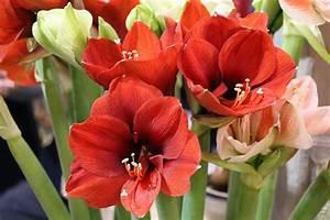 Amaryllis Zum Blühen Bringen : amaryllis bl ht nicht so bringen sie die pflanze schnell ~ Lizthompson.info Haus und Dekorationen
