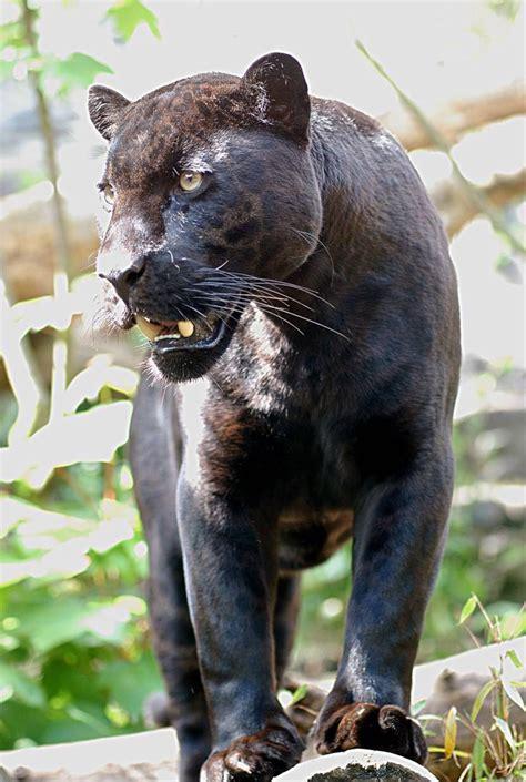 Brown Jaguars - For I am the Black Jaguar