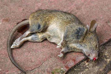 Ratten Im Haus Einschlupf 7