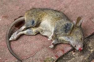 Ratte Im Haus : ratten im haus einschlupf 7 ~ Buech-reservation.com Haus und Dekorationen