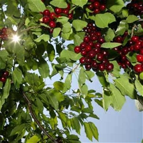 different types of cherry trees nutrition the many types of cherry trees