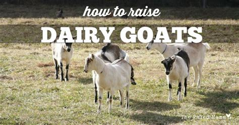 how to raise goats how to raise dairy goats the paleo mama