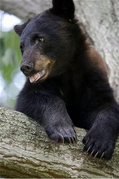 Bear Louisiana Threatened Bears Species Gulflive Move