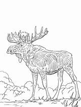 Elk Coloring Eurasia Printable sketch template