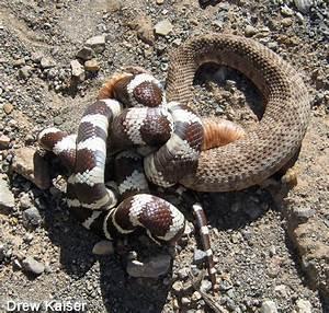 Panamint Rattlesnake - Crotalus stephensi