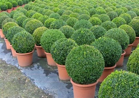Mit Buchsbaum by Buchsbaum Buxus Sempervirens Var Arborescens Im
