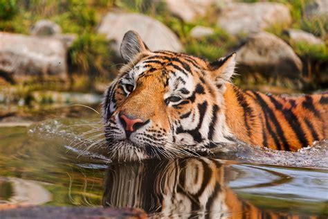 swimming tiger   tiger   water