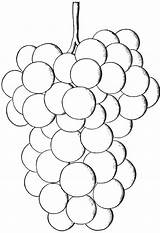 Grapes Coloring Grape Pages Native Printables Salem Varieties Hybrids Very sketch template