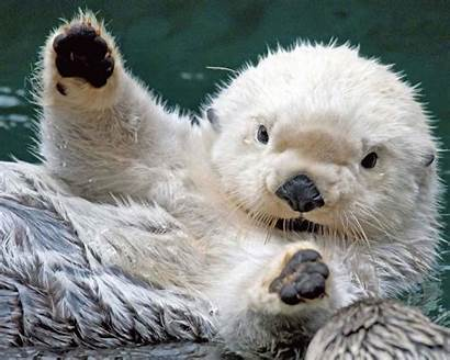 Otter Sea Animal