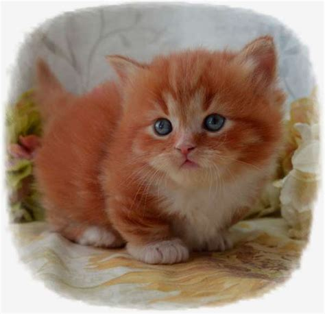 Munchkin Kittens For Sale By Best Cat Breeders Pets4youcom