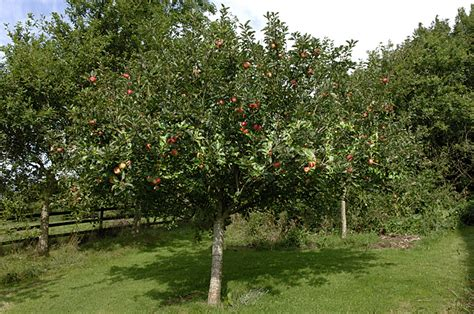 'discovery' Apple Tree (standard) In Fruit