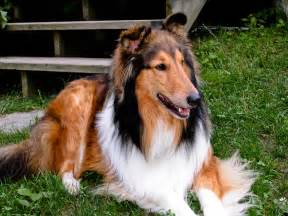 Dog Lassie Rough Collie