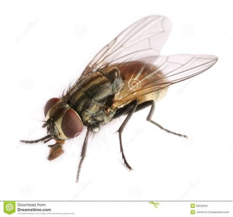 fly royalty  stock photo image