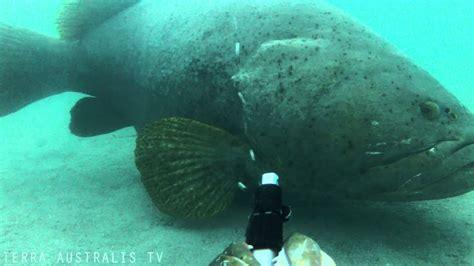 grouper giant queensland camera