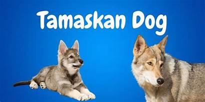 Dog Tamaskan Facts Guide